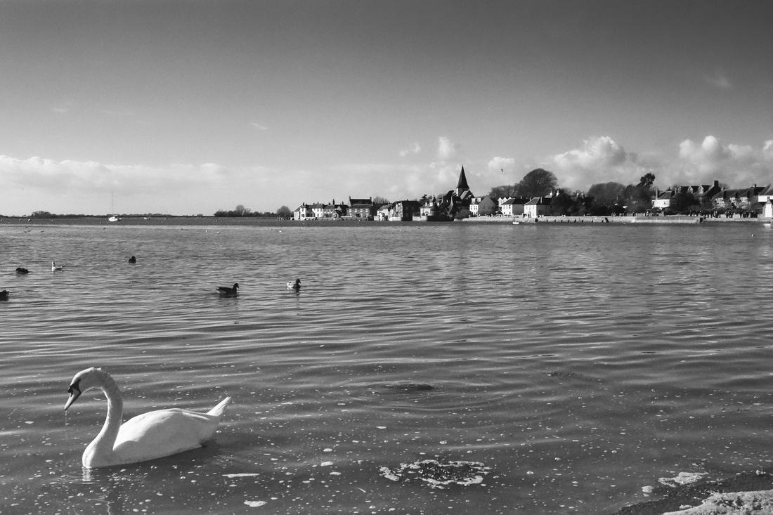 A swan at Bosham